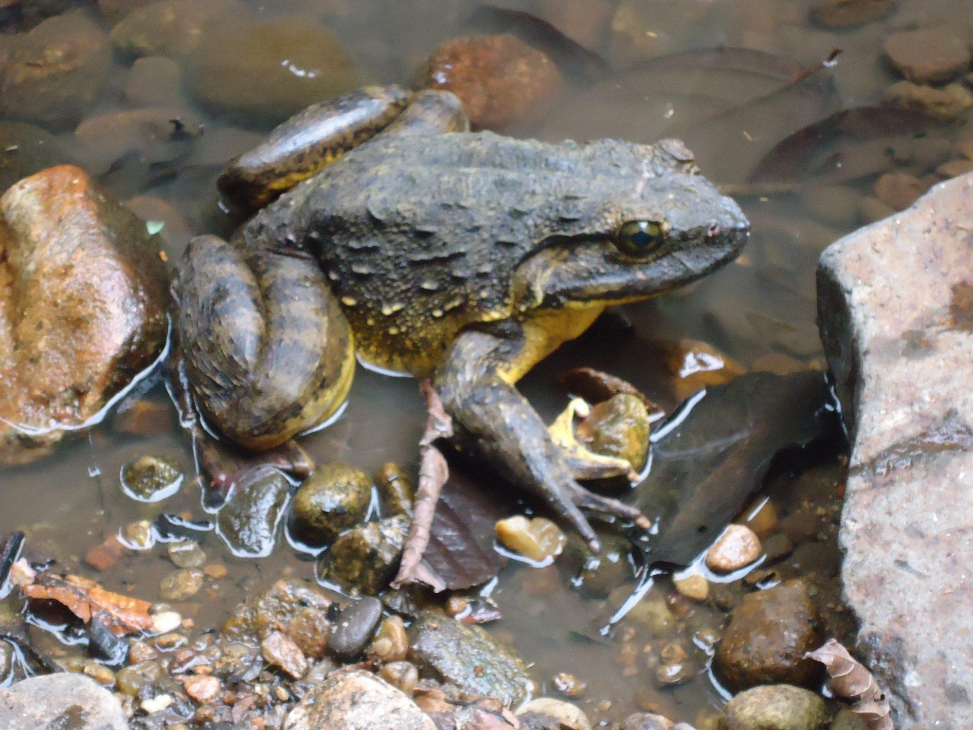 The Goliath frog Conraua goliath initiative